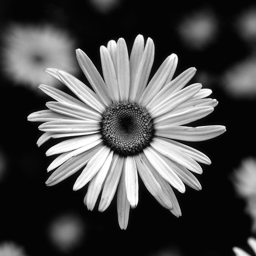 Mary's Daisy | by Rick Kidd Photo