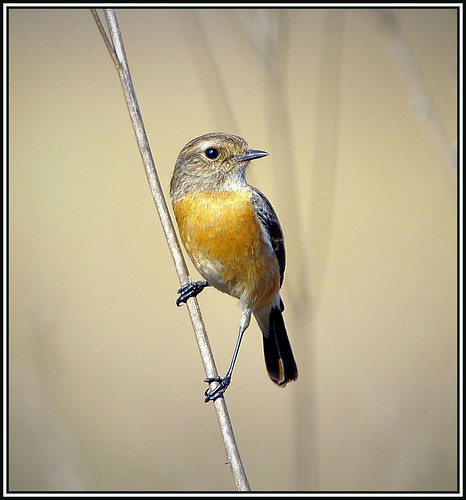 Stonechat | by rogerfscott