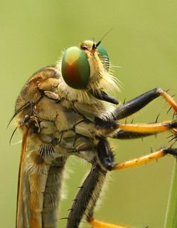 Asilidae - Robber | by AquaSnake