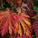 """Fruits of autumn - Acer Japonicum aconitifolium """"The Fern Leaf Full Moon Maple"""""""