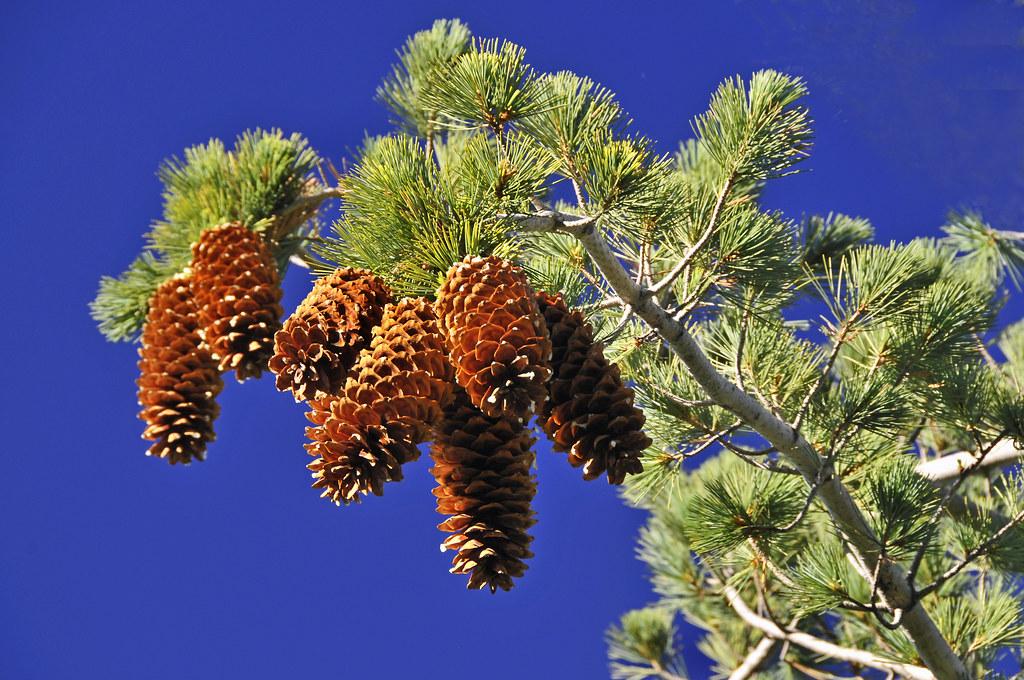 Sugar cones sugar pine cones that is no ice cream in for Long pine cones