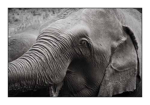 Elephant in Rest | by Vincent_AF