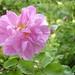 Kazanlik Rose