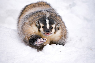 American Badger, Taxidea taxus | by Mrshutterbug.com