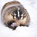 American Badger, Taxidea taxus