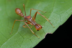 My 1st red ant-mimic spider...IMG_1282 copy | by Kurt (orionmystery.blogspot.com)