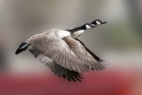 Canada Geese (Branta canadensis) in flight | by pheαnix