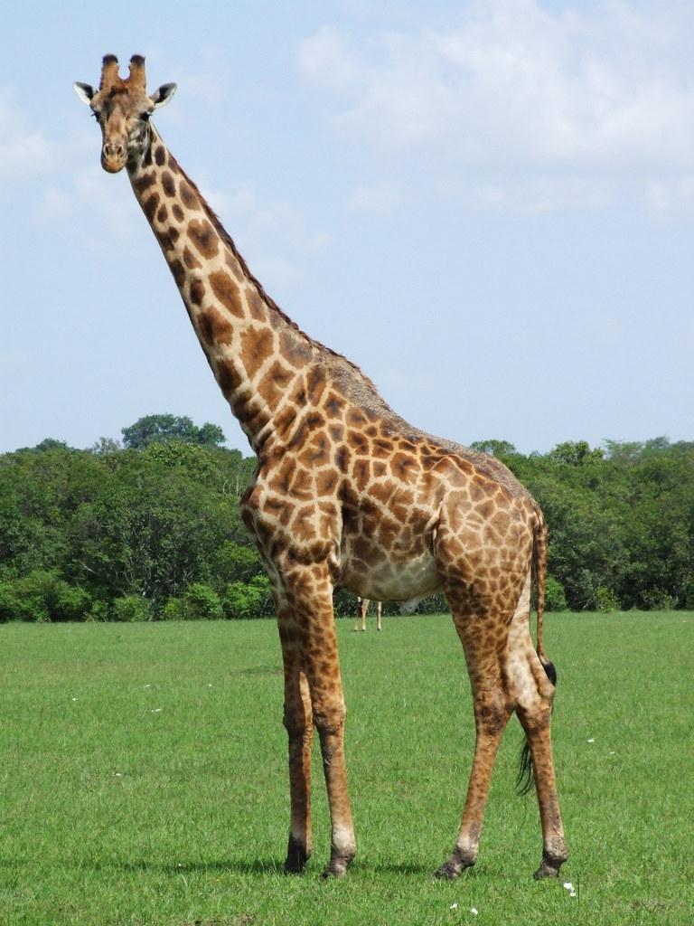 N. Laryngeus Recurrens Giraffe Giraffe Standin...