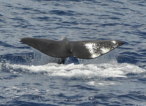 Sperm Whale, Azores_DSC0364  - Physeter macrocephalus | by GPR06