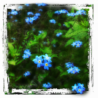 Forget me not ... Shall I Compare Thee To A Summer's Day? | by Nick Kenrick..