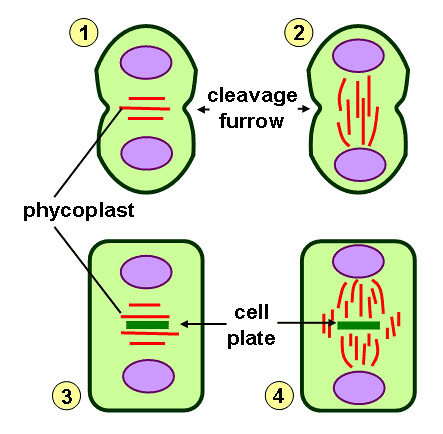 Algae cytokinesis diagram | Schematic representation of diff… | Flickr