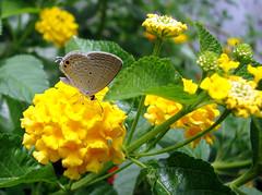 014. gram Blue butterfly in my butterfly Garden.jpg