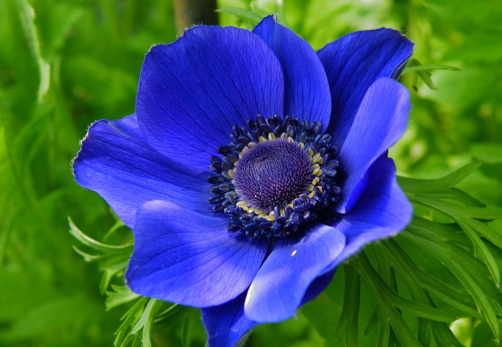Blue Anemone | Ann Dixon | Flickr