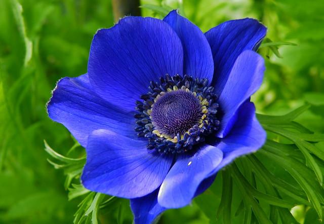 blue anemone flickr photo sharing. Black Bedroom Furniture Sets. Home Design Ideas