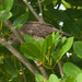 Broad-winged Hawk in hiding