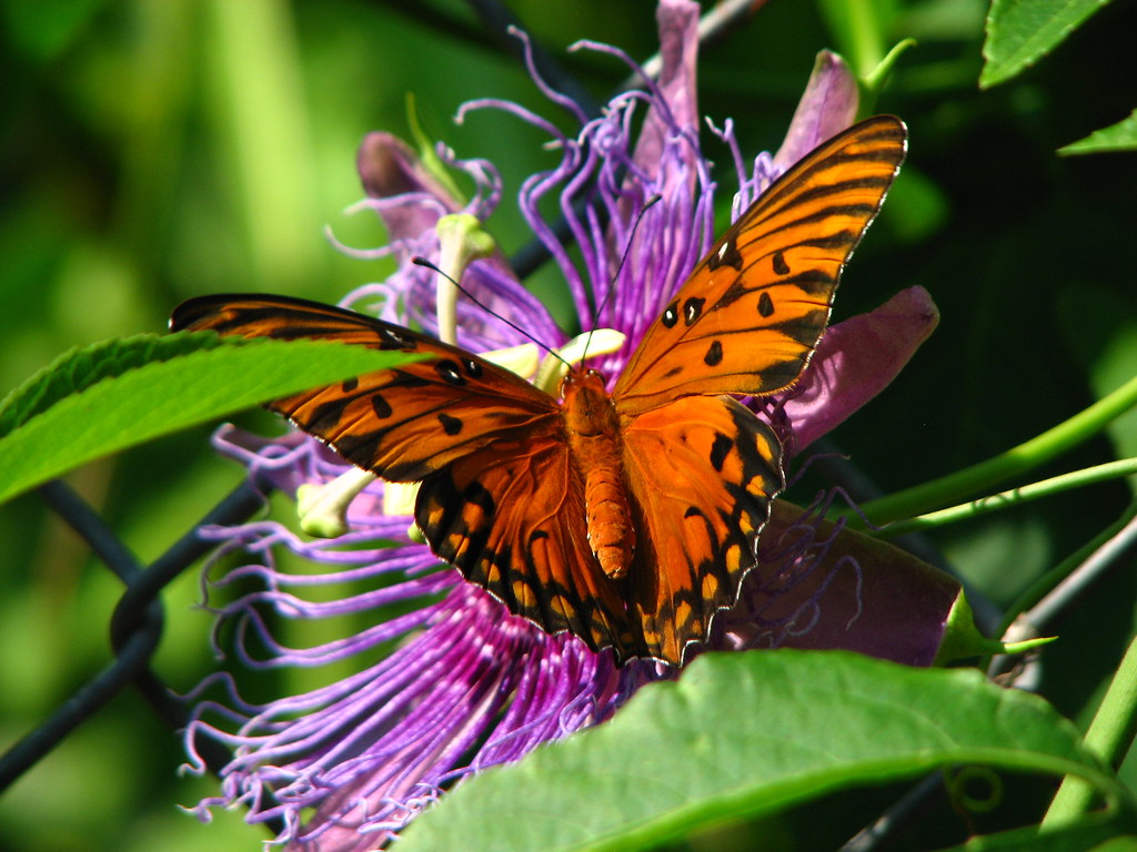 butterfly and passion flower beth ann flickr