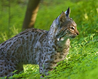 Hunting | Thank you, Yuji and Barry! One of two bobcat ...