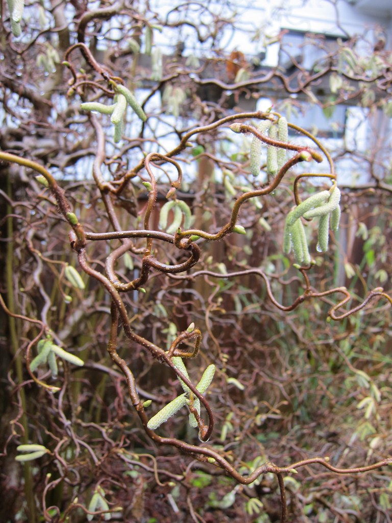Harry lauder walking stick trees -  Contorted Filbert Harry Lauder S Walking Stick Catkins By Greenwalksblog