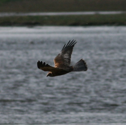 Marsh Harrier | by Hilary Chambers