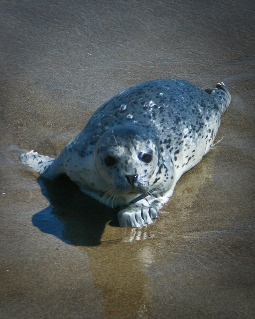 baby_harbor_seal | Flickr - Photo Sharing!