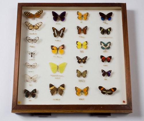 Mounted butterfly specimens | by Black Country Museums