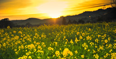 sunsets on the mustard seeds in Sonoma | by tibchris