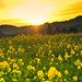 sunsets on the mustard seeds in Sonoma