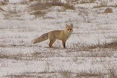 Corsac Fox / Vulpes Corsac | by Far & Away (On assigment, mostly off)
