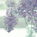 Breeding lilacs out of the dead land