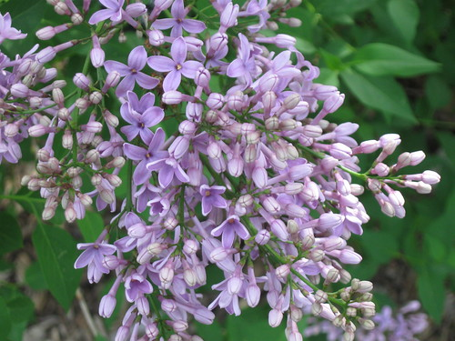 Syringa chinensis | by Brooklyn Botanic Garden