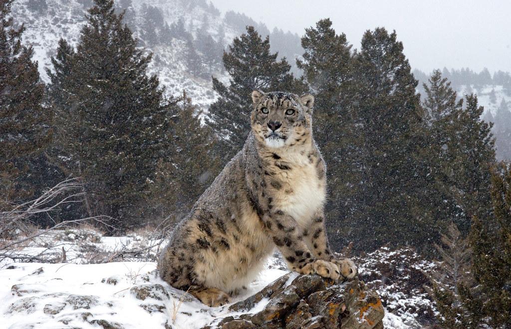 Фото снежный барс ирбис 1