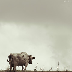 pensive cow | by moggierocket