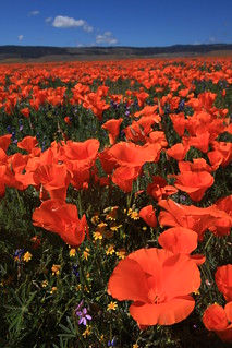 Poppy Time | by Leslie Campbell Photography