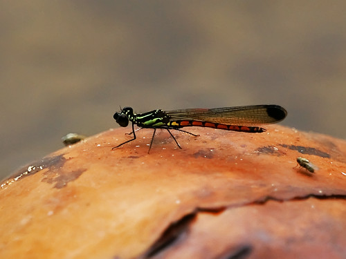 A damselfly with a bright green-striped thorax and yellow and red-striped abdomen is perched on an obscured object.