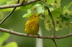 Yellow Warbler - 4/30/2010 | by tx-kyle