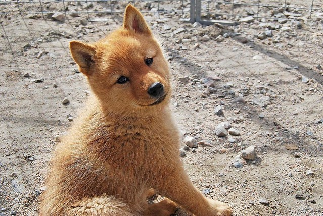 Finnish Spitz Puppy | Some puppies I had the pleasure of ...