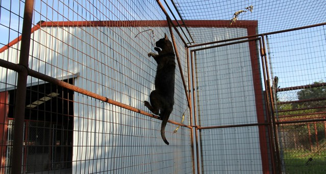 Melanistic F4 Savannah Cat Climbing Fencing See Www