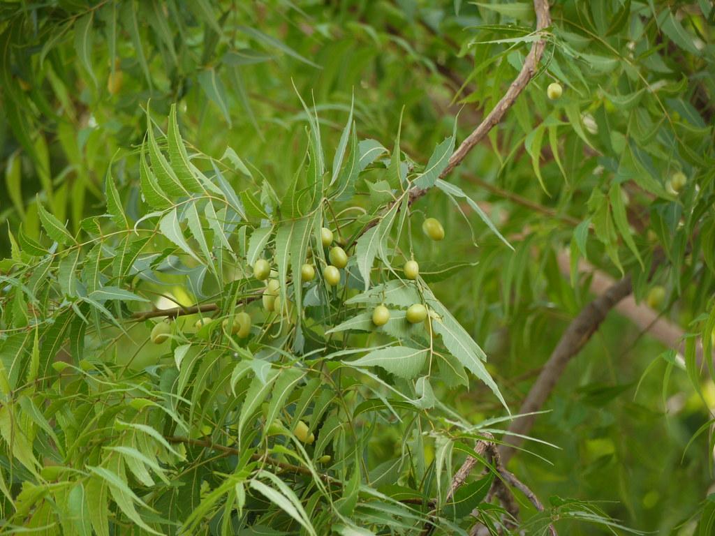 Image result for nim tree images