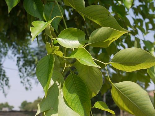 Sheesham Hindi शीशम Fabaceae Pea Or Legume Family