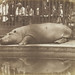 Obaysch the Hippopotamus, London Zoo