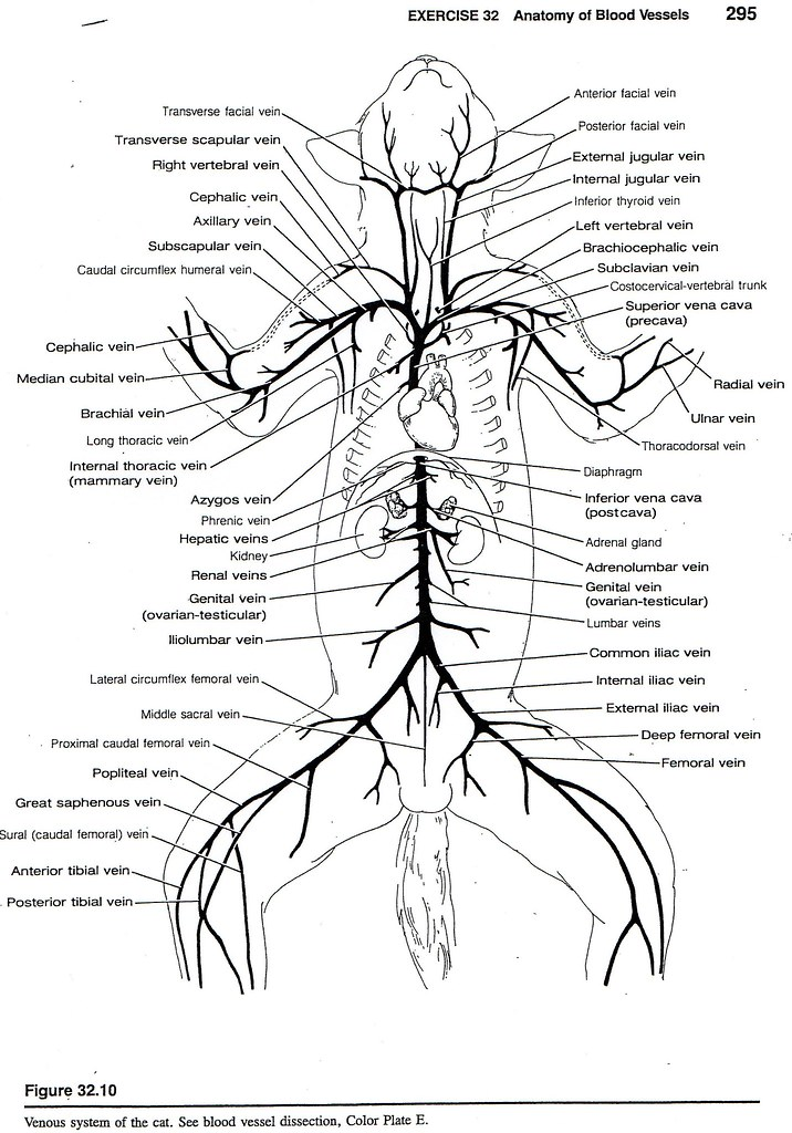 cat venous system