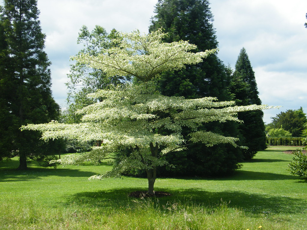 Cornus controversa variegata flickr photo sharing for Small to medium trees for garden