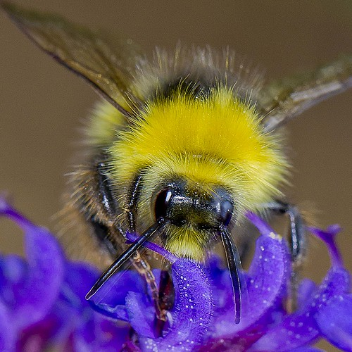 Fluffy-looking bee | by Roland Bogush