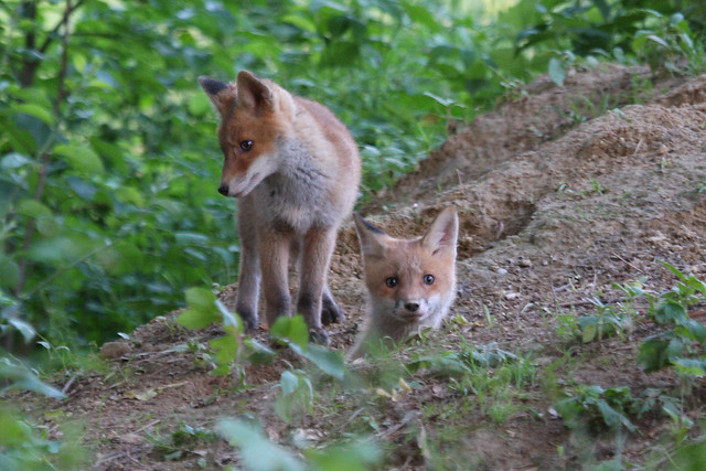 Red fox cubs  Vulpes vulpes Red Fox Cubs