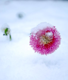 snow flower | by ~Ellis~
