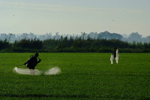 A farmer sprays herbicide to his field | by IRRI Images
