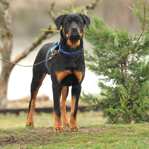 Rottie in Woodland WA | by Red~Star