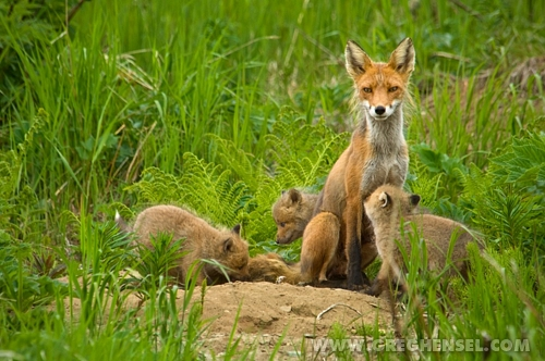 Red Fox Family A Red Fox Keeps A Watchful Eye Out As Her