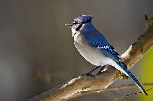 Mr. Blue Jay | by Brickee2