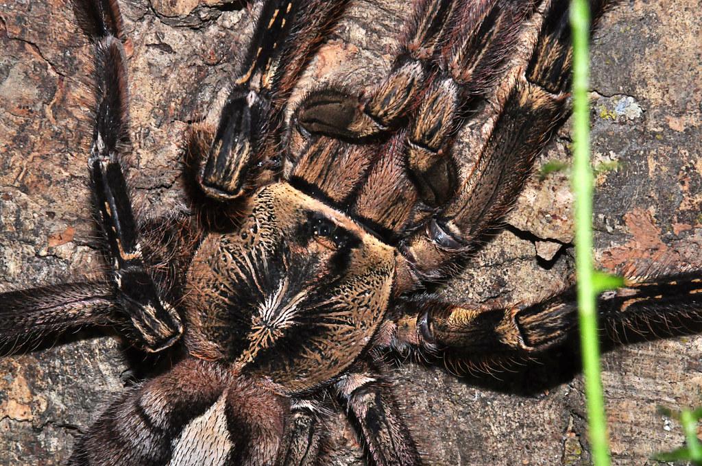 Ornamental Baboon Tarantula Fringed Ornamental Tarantula